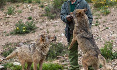Los aullidos desde La Culebra atraen a 80.000 personas al centro del lobo