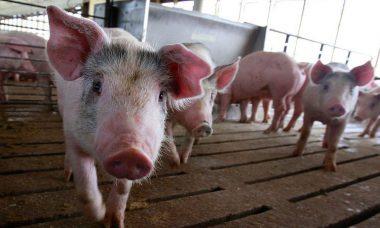 """Ecologistas denuncia que las granjas porcinas carecen del """"debido"""" control ambiental en Castilla y León"""